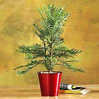 Wollemi Pine - Red Pot