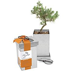 Japanese Black Pine Bonsai Kit, Made in USA