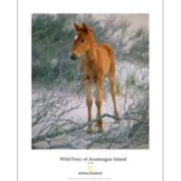 National Geographic Wild Pony of Assateague Island Poster