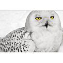 Snowy Owl Signed Print