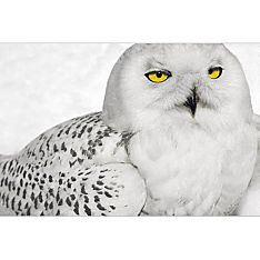 Snowy Owl Signed Print
