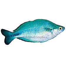 Turquoise Rainbowfish
