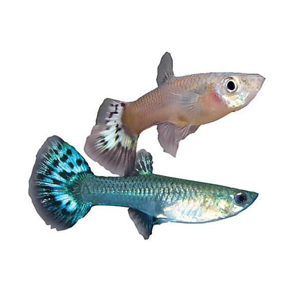 Female fancy guppy fish goldfish betta more petsmart for Petsmart live fish