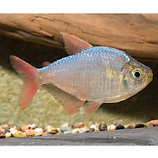 Red Blue Tetra
