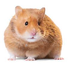 Male Short-Haired Hamster