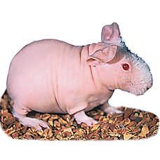 Male Skinny Guinea Pig