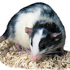 Female Dumbo Rat