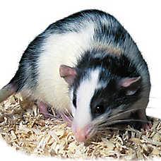Male Dumbo Rat