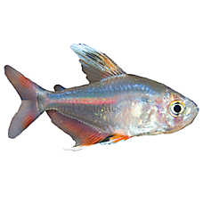 White-finned Rosy Tetra