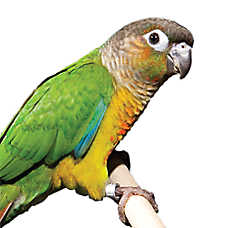 Fancy Green-Cheek Conure