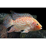 Red Texas Cichlid