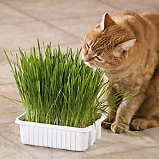 Whisker City® Grass Plus Tub Cat Grass