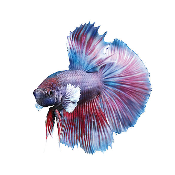 Dumbo halfmoon betta fish goldfish betta more petsmart for Can bettas live with other fish