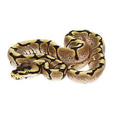 Juvenile Fancy Balll Python