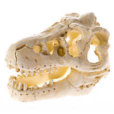 All Living Things® Dinosaur Skull Reptile Ornament
