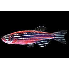 GLO®Fish Striped Starfire Red Danio