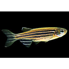GLO®Fish Striped Sunburst Orange Danio