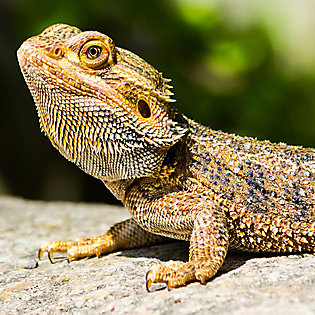 Bearded Dragons: Care, Facts & Info | PetSmart