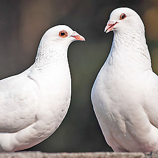 Two doves sitting together