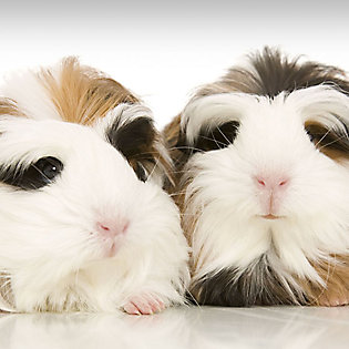 Guinea Pig Shopping Checklist