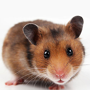 Hamster Shopping Checklist
