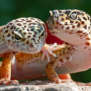 Your leopard gecko's home
