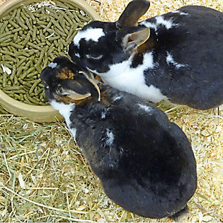 A view from above of two rabbits eating pellets out of a bowl