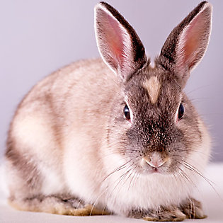 White and brown rabbit