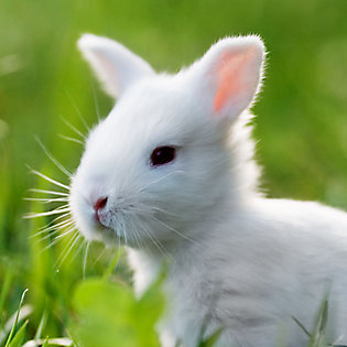 A baby rabbit in the grass