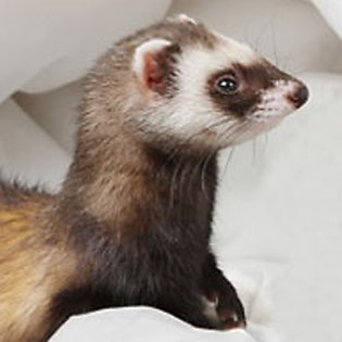 What you'll need for your ferret's home