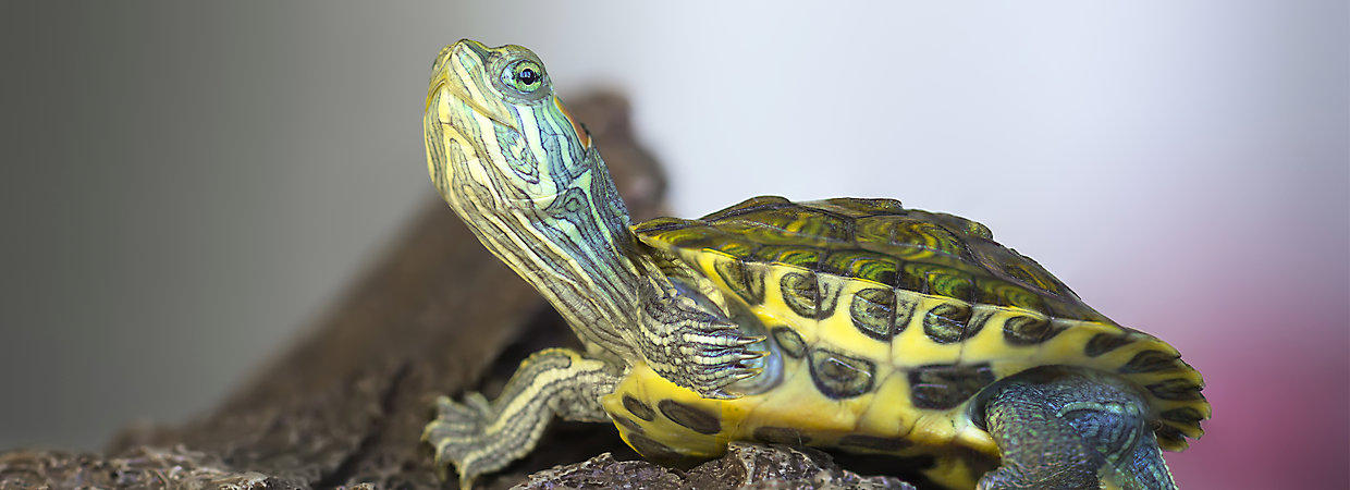 Turtles as Pets: Care & Information PetSmart