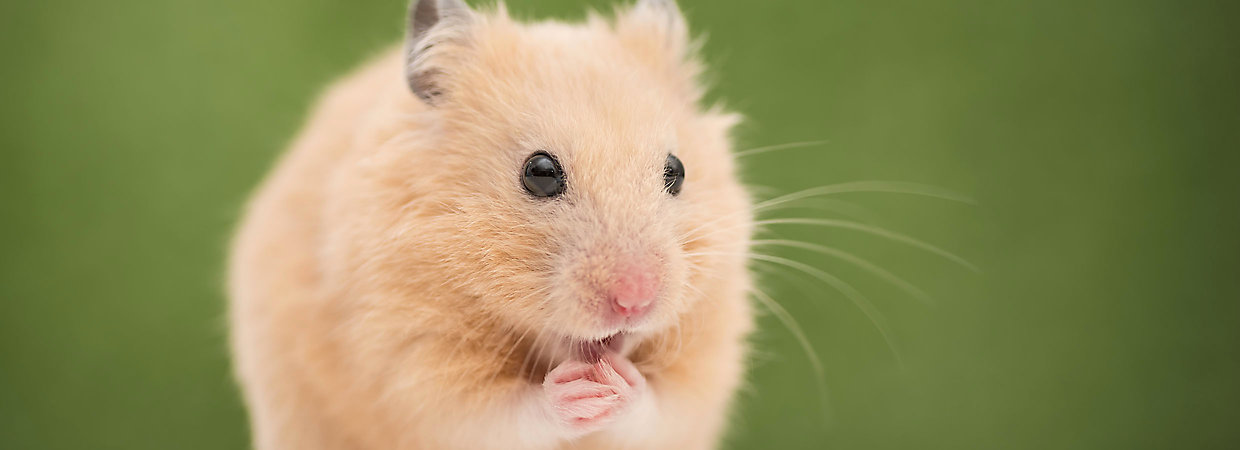 Hamster Care Sheet & Guide | PetSmart