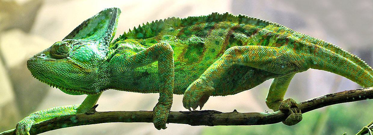 Can Chameleons And Cats Live Together
