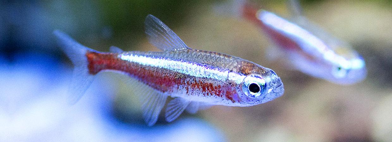 Community fish tanks compatible fish petsmart for Non aggressive fish