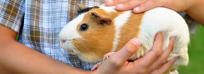 Prednisolone Guinea Pigs
