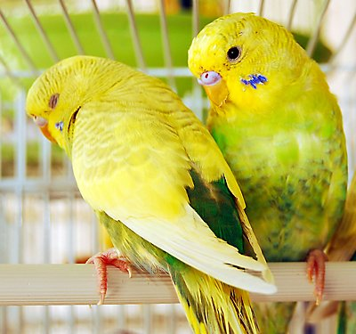 Parakeet Care Guide