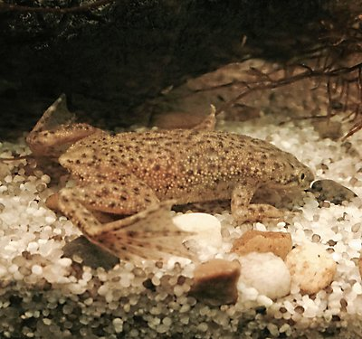 A Set-up Guide for New African Dwarf Frog Parents