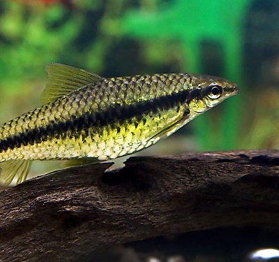 A Set-up Guide for New Algae Eater Fish