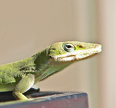 Anole Care Guide