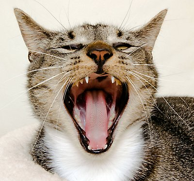 Brushing Up: The Lowdown on Your Cat's Dental Health