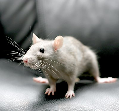 Fancy Rat Care Guide