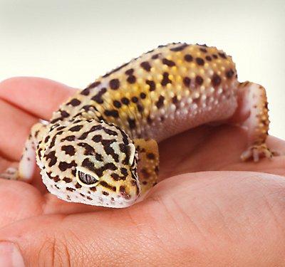 leopard gecko care sheet guide petsmart. Black Bedroom Furniture Sets. Home Design Ideas