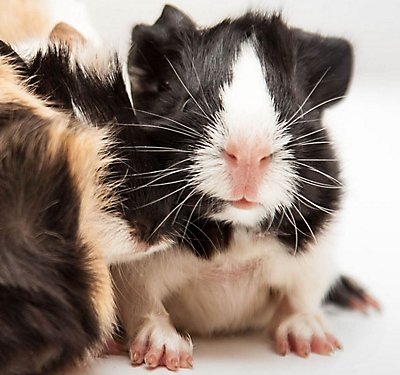 So, You Want a Pet Guinea Pig?