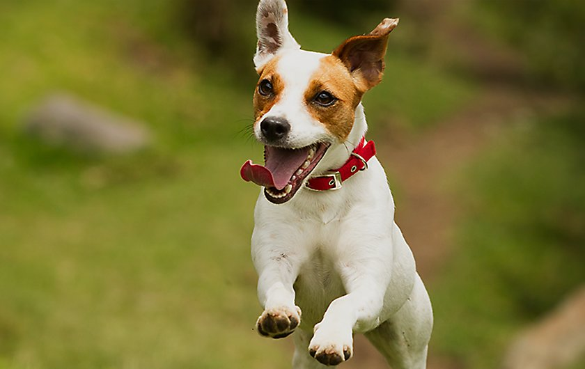 Dog jumping happily