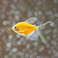 Shop_GloFish