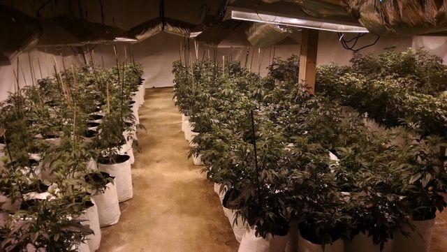 Marijuana Drug Bust