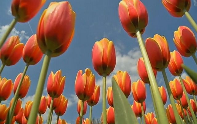 Albany Blooms for the 67th Annual Tulip Festival