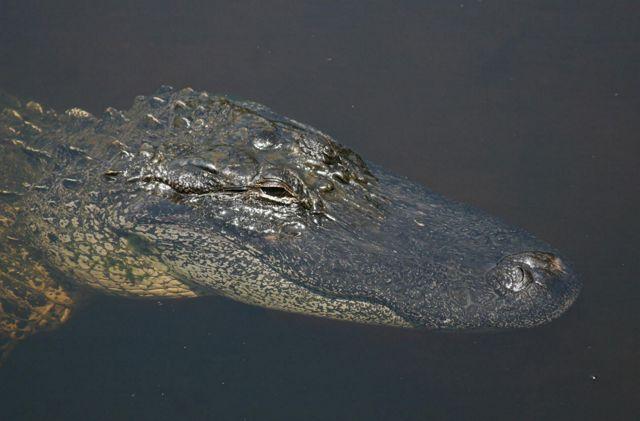 NC Wildlife Resources Commission Needs Your Help Spotting Alligators