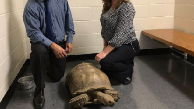 Massive stolen tortoise found safe and sound