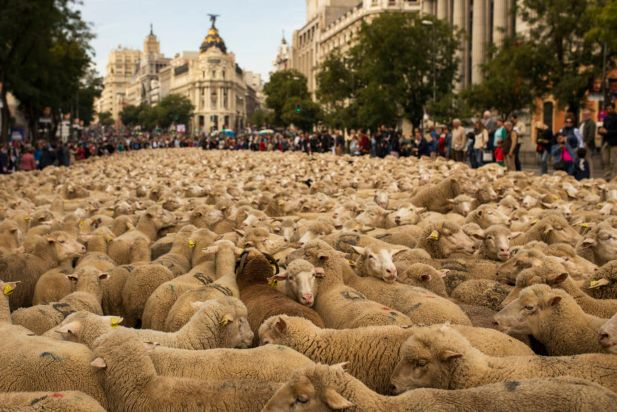 Shepherds lead their sheep through the centre of Madrid, Spain, Sunday, Nov. 2, 2014. Shepherds guided a flock of 2,000 sheep through Madrid's streets on Sunday in defense of ancient grazing, droving and migration rights increasingly threatened by urban sprawl and modern agricultural practices. Tourists and city-dwellers were surprised to see the capital's traffic cut to permit the ovine parade to bleat _ bells clanking _ its way past the city's most emblematic locations.